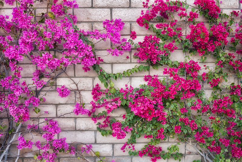 Close up of wall with blooming bougainvillea. Palm Spprings, California
