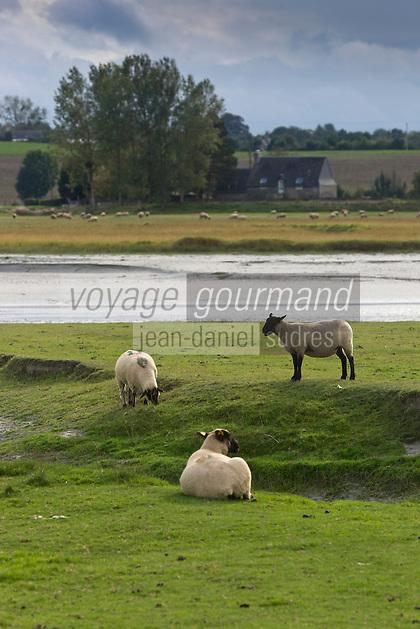 Europe/France/Basse-Normandie/50/Manche/Baie du Mont-Saint-Michel/ Le Val-Saint-Père:   moutons de pré-salé  au Gué de l'Épine  //  France, Manche, Bay of Mont Saint Michel, Bas-Courtils:  tidal marsh meadows sheep