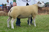 Rutland County Show 2017<br /> Beltex overall champion  owned by Richard &amp; Rachel Sharp<br /> Picture Tim Scrivener 07850 303986<br /> &hellip;.covering agriculture in the UK&hellip;.