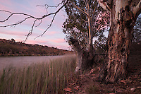 River red gums are orange against the pink sky after sunset on the Murray River near Waikerie, South Australia.