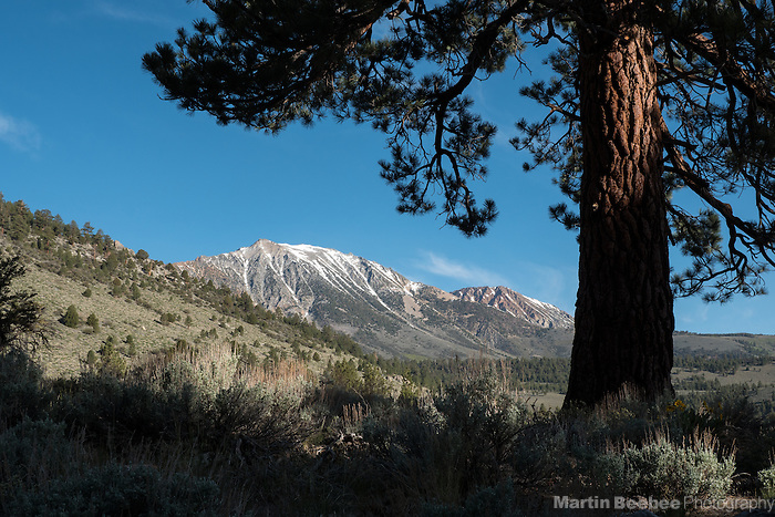 Ponderosa pine frames mountains in the Eastern Sierra Nevada, Inyo National Forest, California