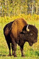 Wood Bison bull (Bison bison athabascae), Elk Island National Park, Alberta.  Fall.