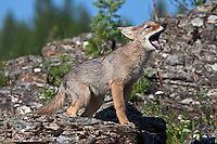 Coyote Pup howling on a rocky ledge - CA