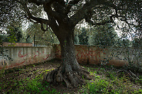 "Italy. Apulia Region. Contrada Galante is a village, distant 15 km from the town of Ceglie Messapica, located in Apulia (Puglia) in Southern Italy. Small farmhouse. Graffiti and century old olive tree. The olive, known by the botanical name Olea europaea, meaning ""European olive"", is a species of small tree in the family Oleaceae, found in the Mediterranean Basin. The olive's fruit, also called the olive, is of major agricultural importance in the Mediterranean region as the source of olive oil. The tree and its fruit give their name to the plant family. 6.12.18  © 2018 Didier Ruef"