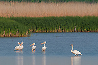 White Pelicans (Pelecanus erythrorhynchos)and Trumpeter Swan (Cygnus buccinator) in a freshwater Lake Erie marsh, Spring, Ottawa NWF, Ohio, USA.