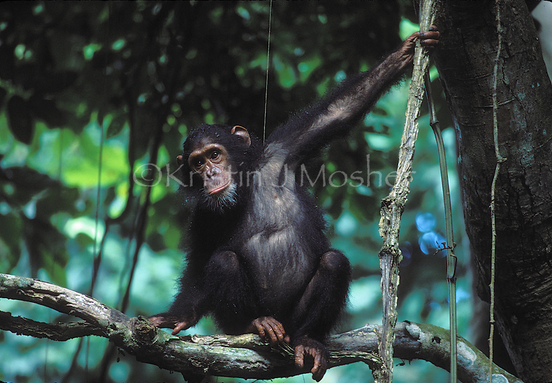 Goldi hangs out above.Young eastern female chimpanzee (Pan troglodytes schweinfurthii).Gombe National Park, Tanzania
