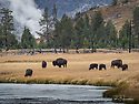 October 8 thru October 21, 2017 / Cross country Trip to Yellowstone National Park in Yellowstone, Wyoming.  It was not uncommon to see large herds of bison congregating near the Yellowstone River.  /  Stops in Laramie, Jackson, Yellowstone with travels thru Pennsylvania, Ohio, Indiana, South Dakota, Wyoming, Montana, North Dakota, Missouri, Minnosota, and Illanois.