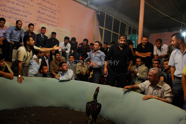 SULAIMANIYAH, IRAQ:  A large crowd watches roosters fight...People watch cook fighting in the tea shop in Iraqi Kurdistan...Photo by Julie Adnan/ Metrography