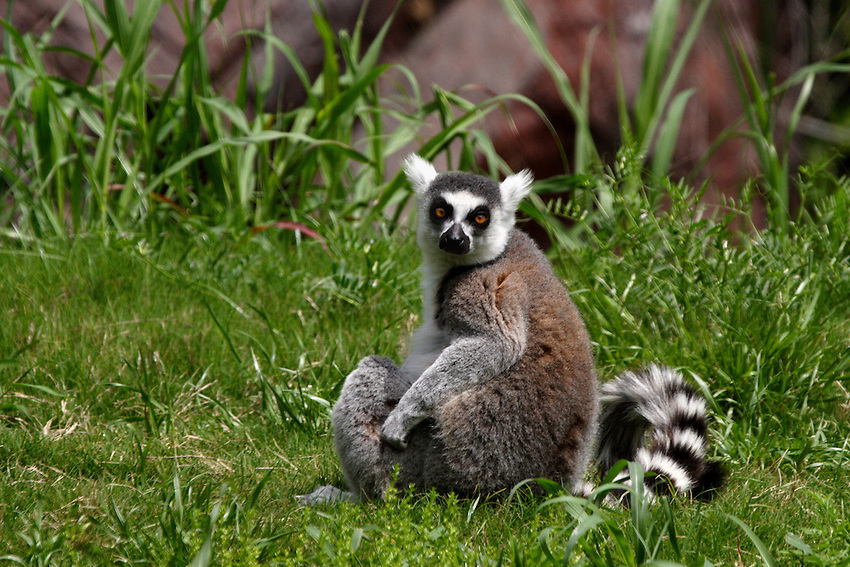 Ring-tailed lemurs are endangered, largely because the sparse, dry forests they love are quickly vanishing.