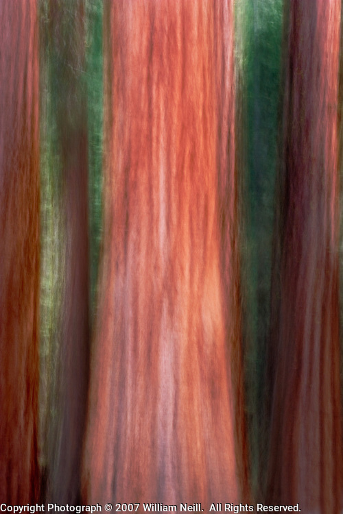 Giant Sequoias, Yosemite National Park, California