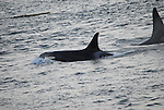 Orca whale off of  San Juan Island, Washington
