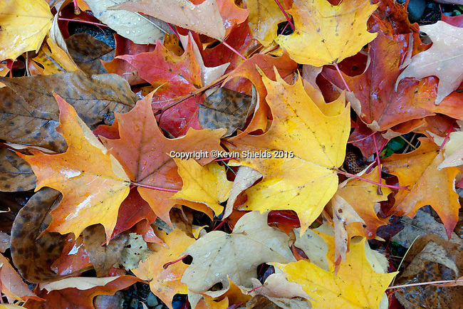 Fallen leaves in the Autumn, Camden, Maine, USA