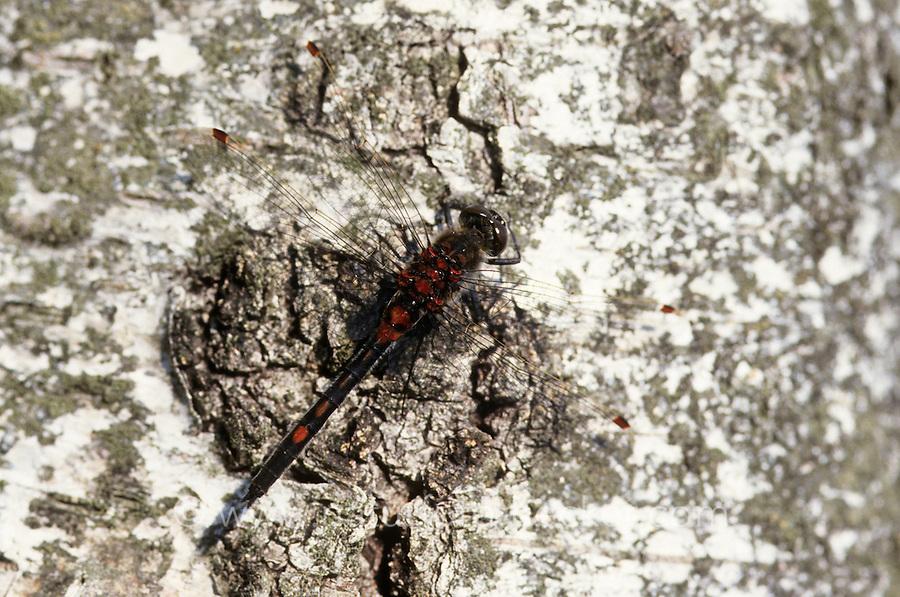 Nordische Moosjungfer, Männchen, Leucorrhinia rubicunda, Leucorhinia rubicunda, Northern White-faced Darter, Northern Whitefaced Darter