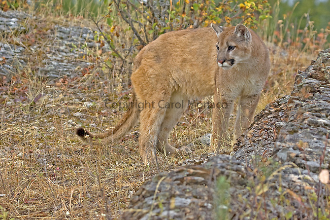 A mountain lion standing by a rock, Montana