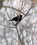 Red Winged Blackbird seen on the Steve Chorvas led Esopus Creek Conservancy's Annual Spring Bird Walk, through along the Saugerties Lighthouse Trail, in Saugerties, NY on Sunday, March 19, 2017. Photo by Jim Peppler. Copyright Jim Peppler 2017.