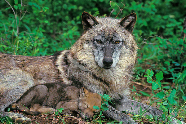 Gray Wolf mother with young pup.  Western U.S., early summer.
