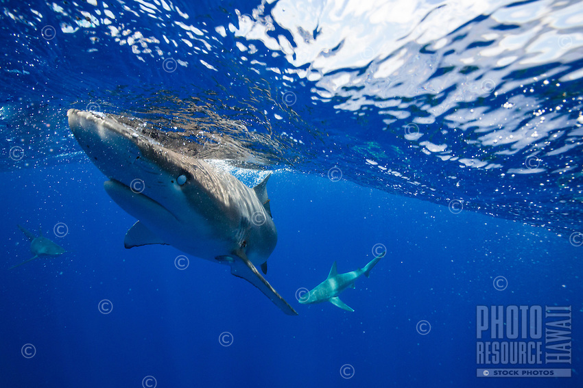 Galapagos shark swimming in the ocean off the coast of Oahu