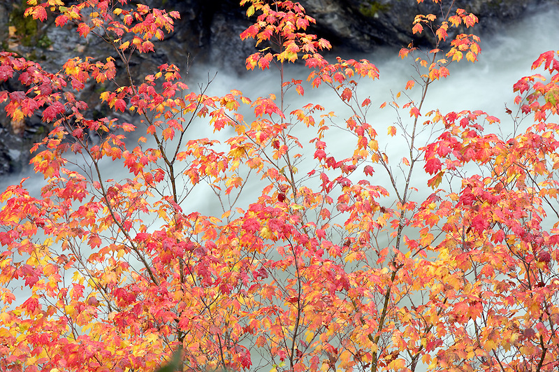 Vine maple in fall color. Panther Creek. North Cascades National Park. Washington