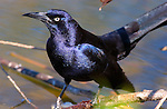 Great-tailed Grackle, Close Portrait, Sepulveda Wildlife Refuge, Southern California