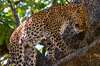 A leopard walks on a tree limb, Kwando Concession, Linyanti Marshes, Botswana.