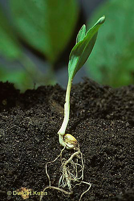 CR01-001z  Corn - seedling soil profile showing leaves, stem, roots