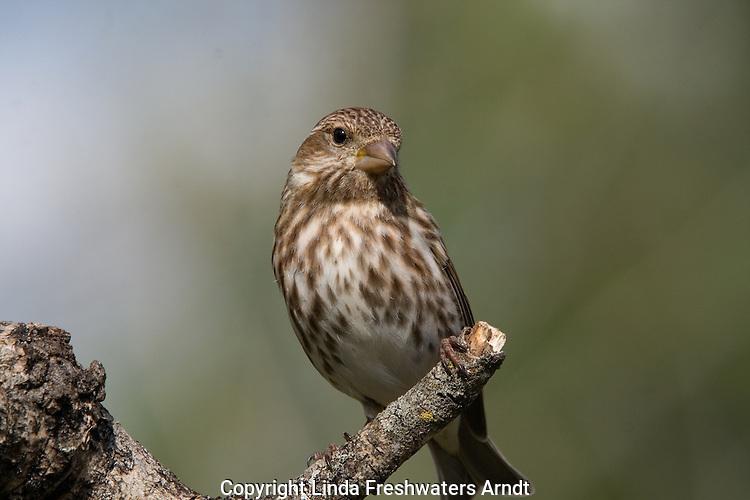 Purple Finch - Female