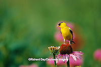 01640-14410 American Goldfinch (Carduelis tristis) male on Purple Coneflower (Echinacea purpurea) in flower garden, Marion Co. IL