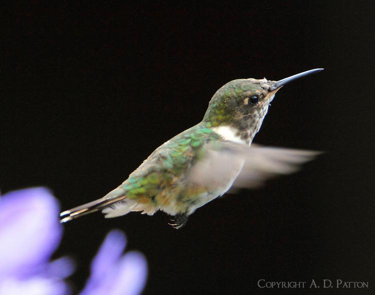 Female volcano hummingbird flying