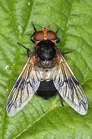 Gemeine Waldschwebfliege, Wald-Schwebfliege, Gemeine Hummel-Schwebfliege, Weißbindige Hummelschwebfliege, Hummelschwebfliege, Volucella pellucens, Pellucid Hoverfly, Pellucid Fly
