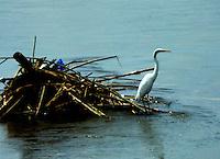 CALI - COLOMBIA, 30-06-2016: Garza Real, especie de ave presente en el norte de Cali. / Garza Real, bird species present in north of Cali Photo: VizzorImage / Dario Ramirez / Cont.