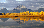 Autumn turns aspen leaves a brilliant yellow at Oxbow Bend below Mt. Moran in Grand Teton National Park, Wyoming.