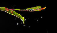 Red-eyed Tree Frog Jumping