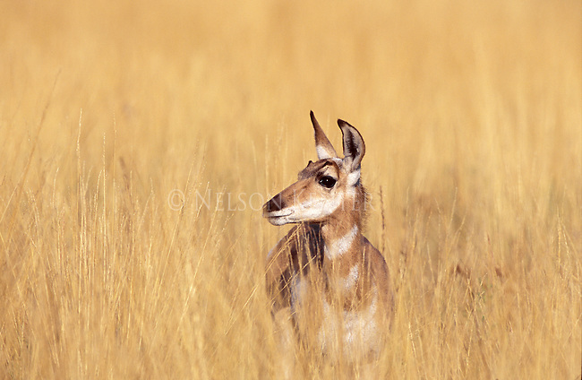 Pronghorn Antelope doe in Montana