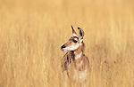 Pronghorn Antelope doe in Montana