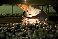 Mushroom farmer checks on the readiness of white button mushrooms for harvet, Kennet Saquare, Pennsylvania, PA, USA