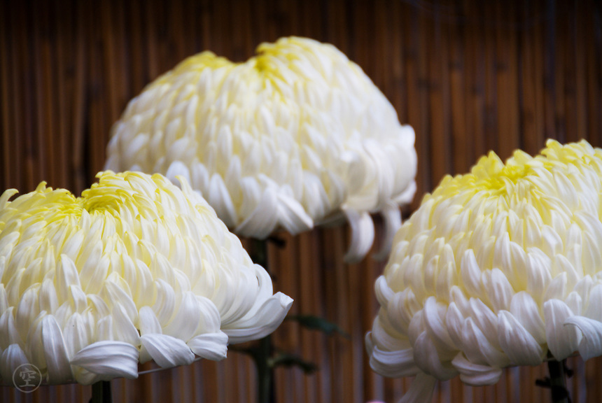 Elaborate and perfect and puffy white ogiku chrysanthemums darken to yellow at their centres.