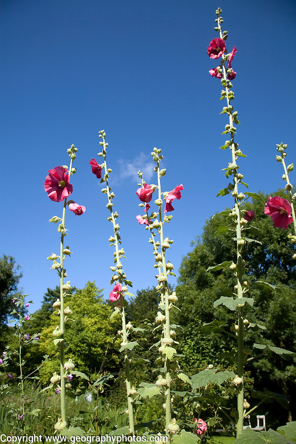 Hollyhocks plant, alcea rosea, flowering in summer against blue sky, Suffolk, England