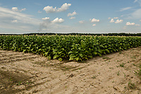 Tobacco grows on NC Highway 222/111 outside Dudley, NC on Tuesday, June 27, 2017. (Justin Cook for The Guardian)