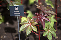 07/07/15<br /> <br /> Castor oil plant/Ricinus communist.<br /> <br /> <br /> Alnwick Garden, Poison Garden.<br /> <br /> According to the 2007 edition of Guinness World Records, this plant is the most poisonous in the world. Despite this, suicides involving ingestion of castor beans are unheard of in countries like India where castor grows abundantly on the roadsides. The toxicity of raw castor beans is due to the presence of ricin. Although the lethal dose in adults is considered to be four to eight seeds, reports of actual poisoning are relatively rareThe aversion to the use of the beans in suicide could be due to the painful and unpleasant symptoms of overdosing on ricin, which can include nausea, diarrhoea, tachycardia, hypotension and seizures persisting for up to a week. However, the poison can be extracted from castor by concentrating it with a fairly complicated process similar to that used for extracting cyanide from almonds.<br /> <br /> <br /> All Rights Reserved: F Stop Press Ltd. +44(0)1335 418629   www.fstoppress.com.