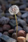 USA, California  Dandelion and river rock.