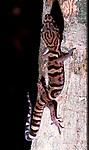 Yucatan Banded Gecko, Coleanyx elegans, Belize