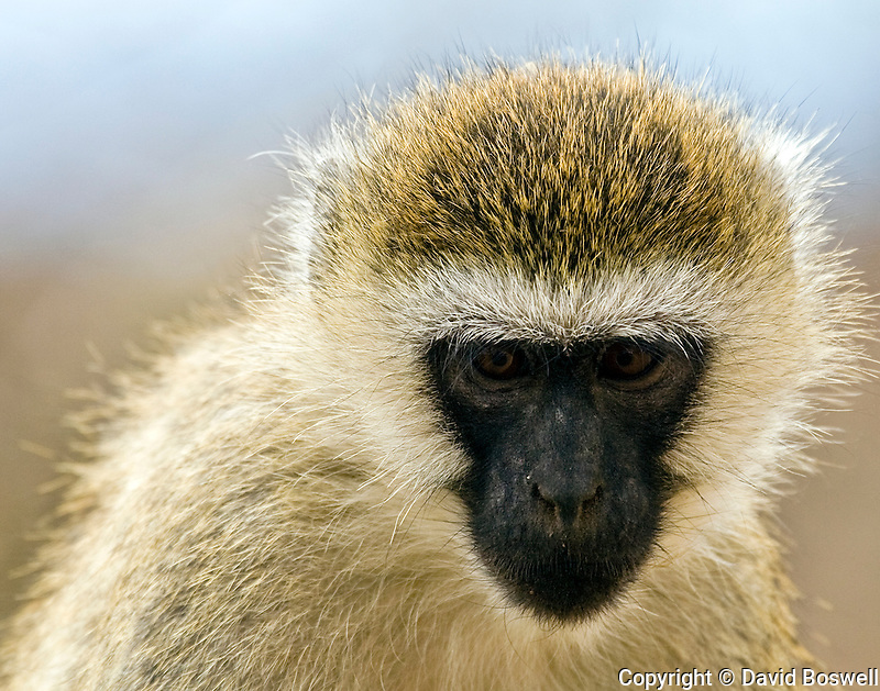A vervet monkey photographed in Tarangire National Park in Northern Tanzania