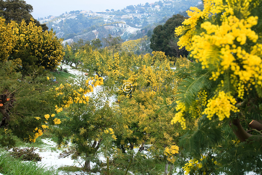 France, Var, Tanneron, massif du Tanneron en février durant la floraison du mimosa et suite à des chutes de neige. Plantation de mimosa des fleuriste, Acacia dealbata, et d'Eucalyptus pour le feuillage coupé au loin // France, Var, Tanneron, Tanneron massif in February during flowering mimosa and following snowfall. Planting of mimosa, Acacia dealbata and Eucalyptus foliage for the cut off far