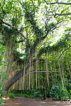 The forest canopy at Honolua Bay on the island of Maui, Lahaina, HI, USA