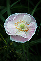 Iceland poppy (Papaver nudicaule) early June.