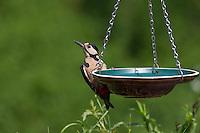 Buntspecht an der Vogeltränke, Tränke, trinkend, Trinken, Wasser, Wasserschale, Trinknapf, Bunt-Specht, Specht, Spechte, Dendrocopos major. Great Spotted Woodpecker, Woodpeckers, Bird bath, drinking trough. Pic épeiche