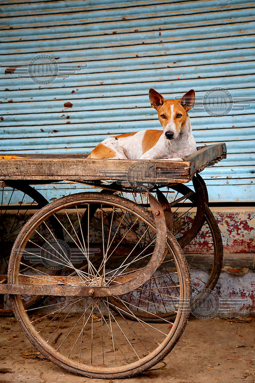 A street dog rests on a mobile market stall.