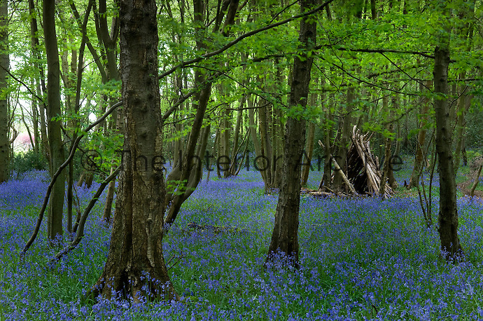 A rough 'den' constructed of dead wood has been erected in the depths of this beechwood carpeted with bluebells