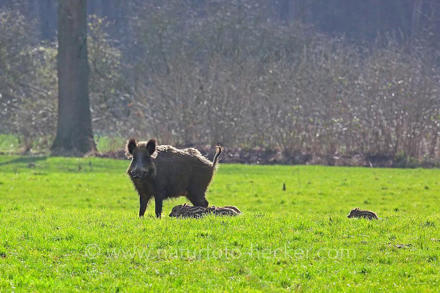 Wildschwein, Wild-Schwein, Schwarzwild, Schwarz-Wild, Bache, Weibchen mit Frischlingen, Jungen, Frischling, Schwein, Sus scrofa, wild boar, pig