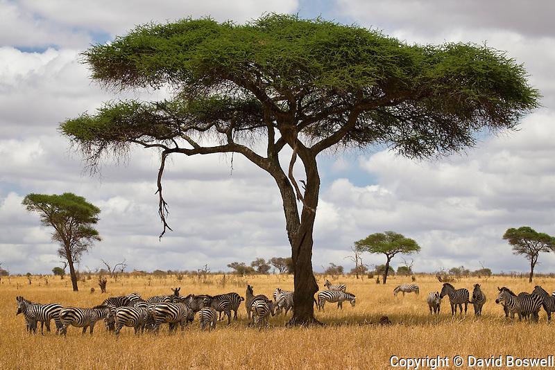 Zebras under an umbrella acacia in Tarangire National Park in northern Tanzania